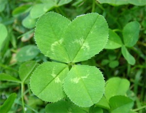 Photo of a four leaf clover.