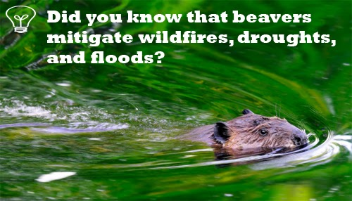 Photo of a beaver swimming with text overlaid saying: Did you know that beavers mitigate wildfires, droughts, and floods?
