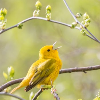 Photo of a yellow warbler sitting on a tree branch.